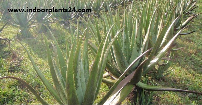 Plant aloe barbadensis aloe vera indoor plant benefits for Aloe barbadensis