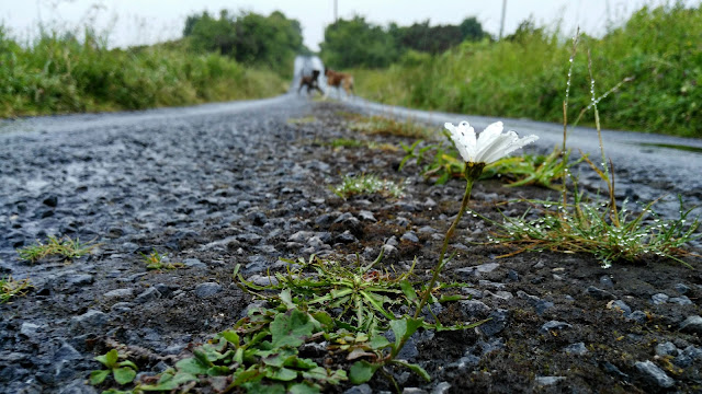 lonely daisy in the middle of the road and two boxers in the background