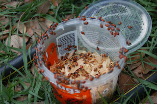 cup of live ladybugs