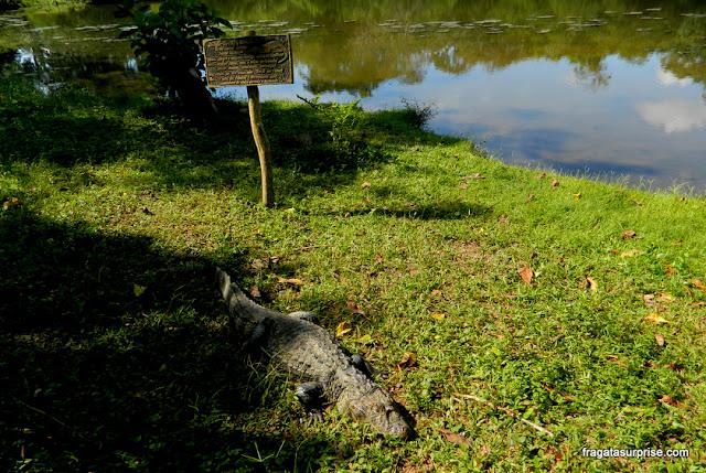 Jacaré na Estância Mimosa - Bonito - MS