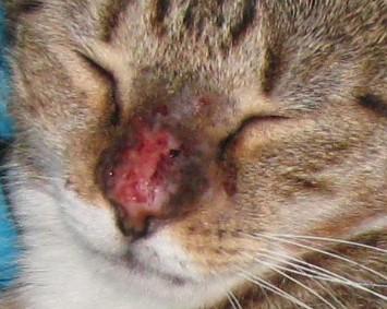 The Natural Idea How I Treat My Cat S Feline Mosquito