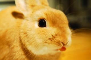 mata kelinci