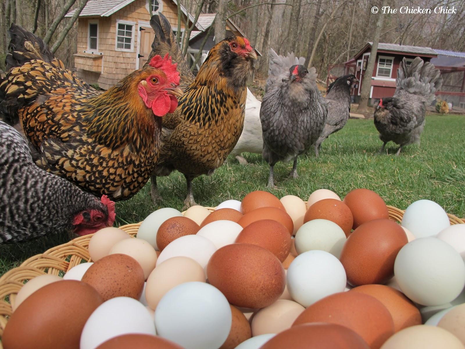 The Chicken Chick®: Hurricane Preparedness for Backyard ...