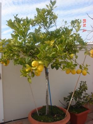 El blog de la elena un blog dulce divertido y entretenido como hacer un maceto huerto - Plantar limonero en maceta ...