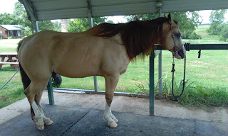 PSSM1 horses, tight muscle, areas of restriction