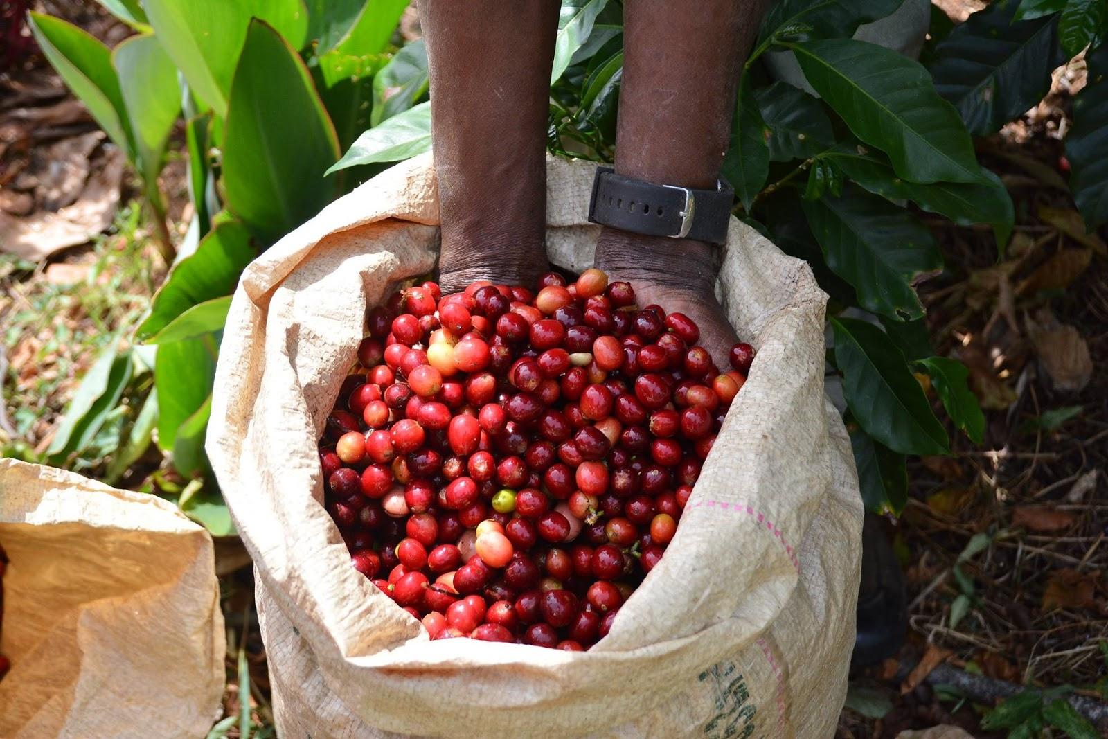 多明尼加咖啡專題報導︱黑鑲金咖啡