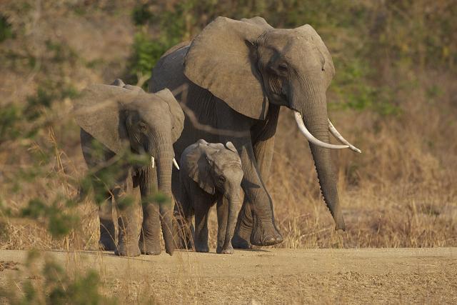 Fond d 39 cran l phant d 39 afrique fonds d 39 cran hd - Animaux savane africaine ...