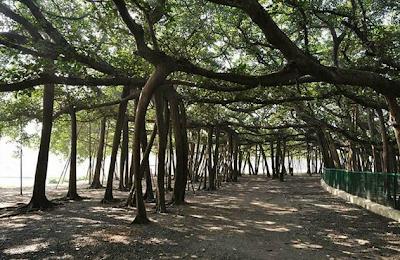 http://2.bp.blogspot.com/-PPkCi-c52s8/UiCQNXIeRVI/AAAAAAAABR4/BhYHOfz-I7w/s400/Ficus+benghalensis+-+Banyan+Tree+13.png