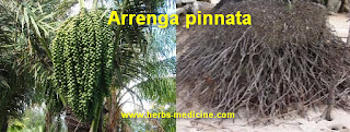 herbal viagra use palm roots