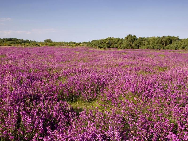 Free Wallpaper: Purple Flower Field Wallpaper