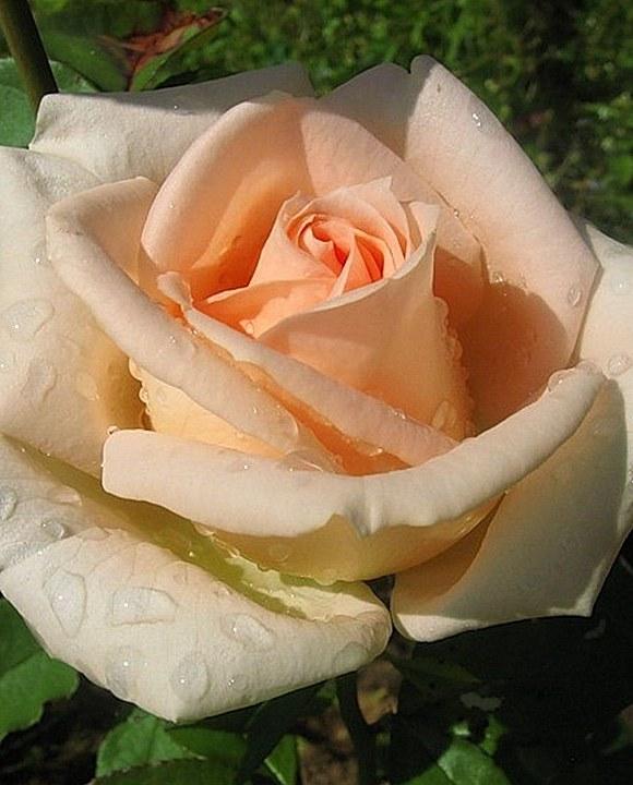 Osiana роза фото сорт