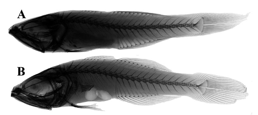 A new cardinalfish