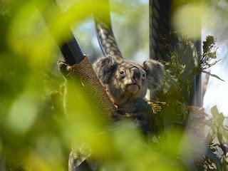 Populasi Koala