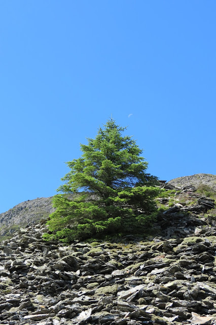 A solitary fir tree growing out of the shattered slate and rock.