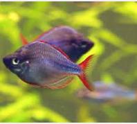 Ikan Hias Air Tawar Terindah Melanotaenia praecox weber