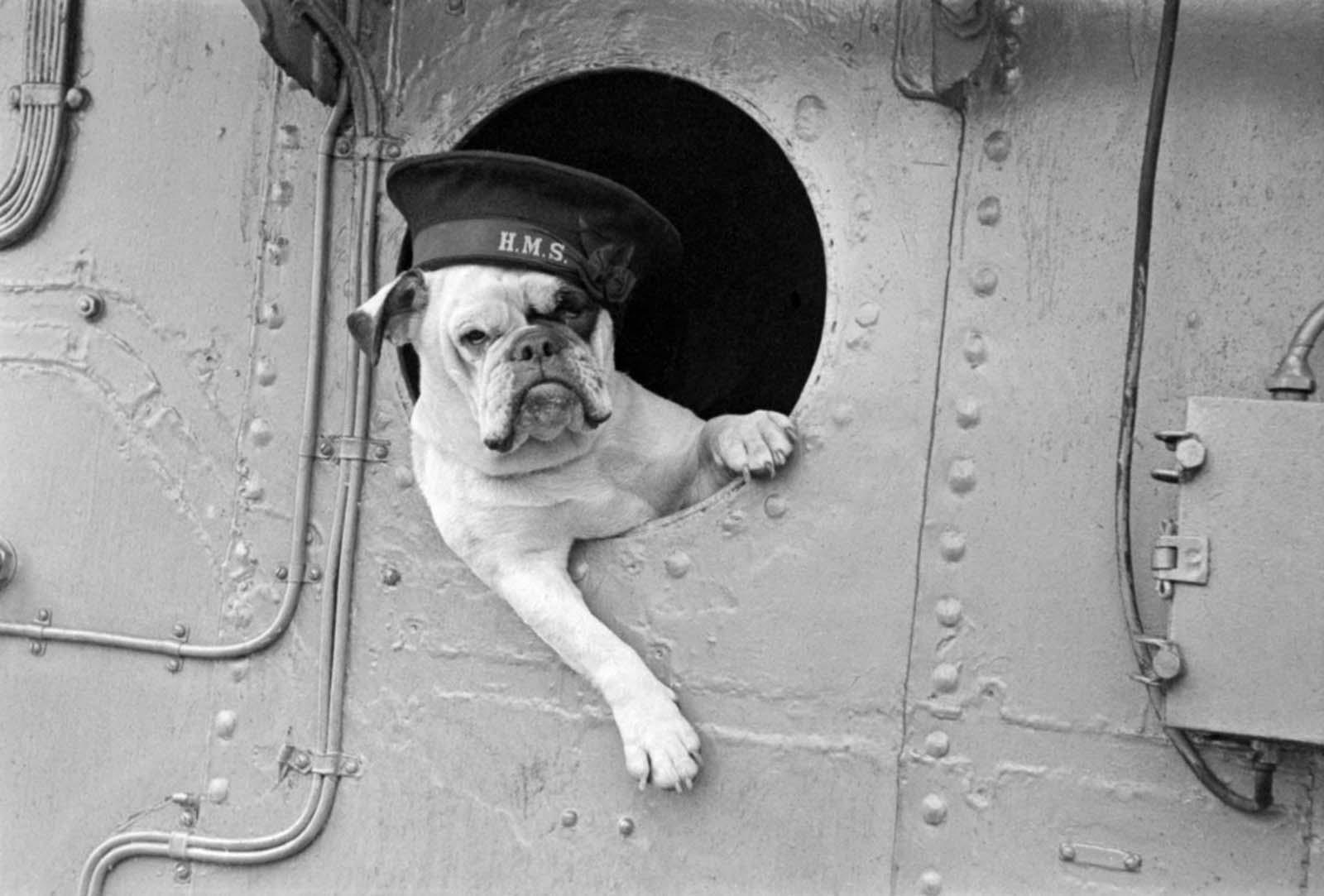 Venus the bulldog, mascot of the destroyer HMS Vansittart.