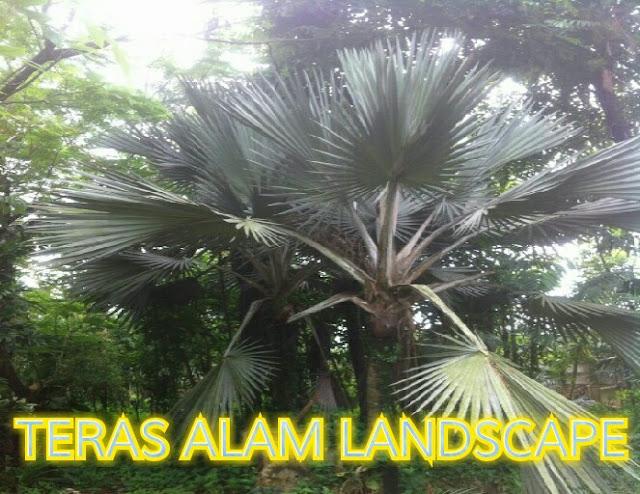 pohon palem washington