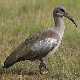 ibis hadada Bostrychia hagedash