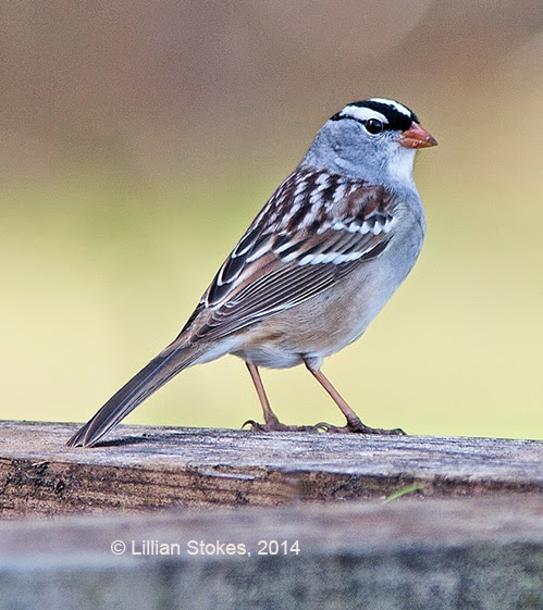 STOKES BIRDING BLOG: How To ID Sparrows At Your Feeder ...