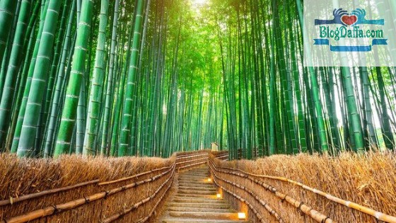 keunggulan Bambu Hias Jepang