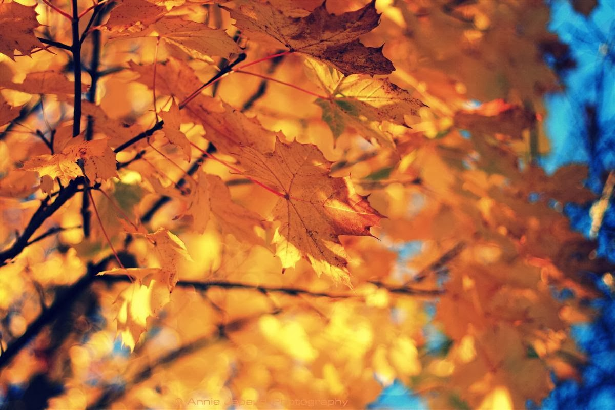 another image of a tree covered with golden leaves