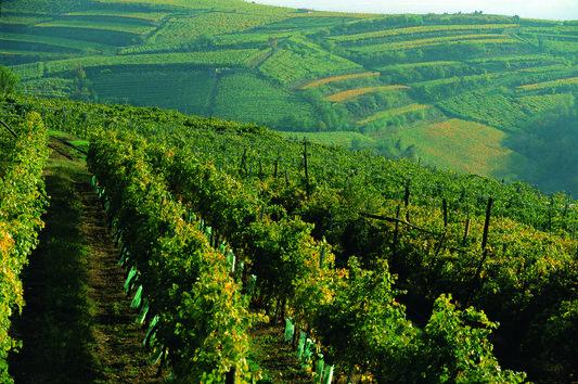 Inama Foscarino vines
