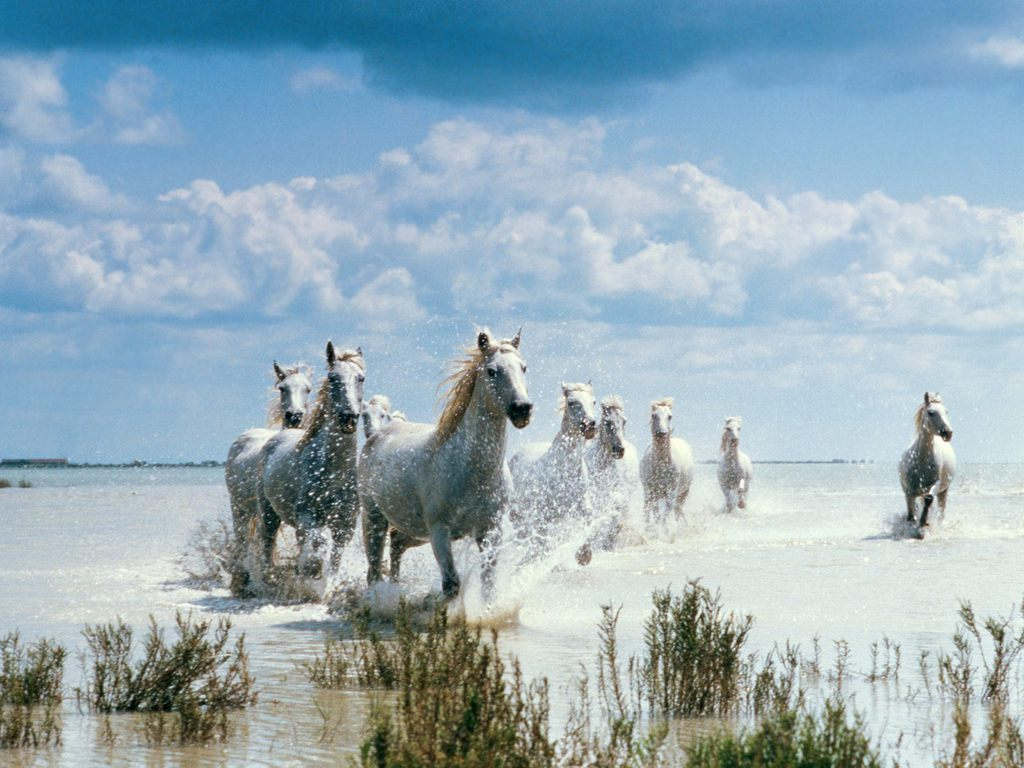 White running horses - photo#39