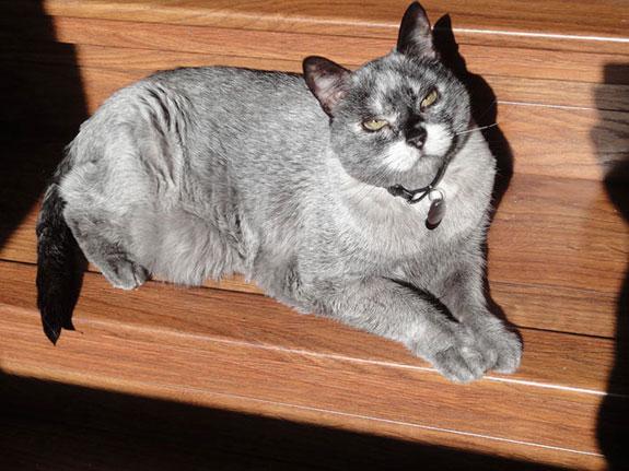 Gato con vitiligo-2