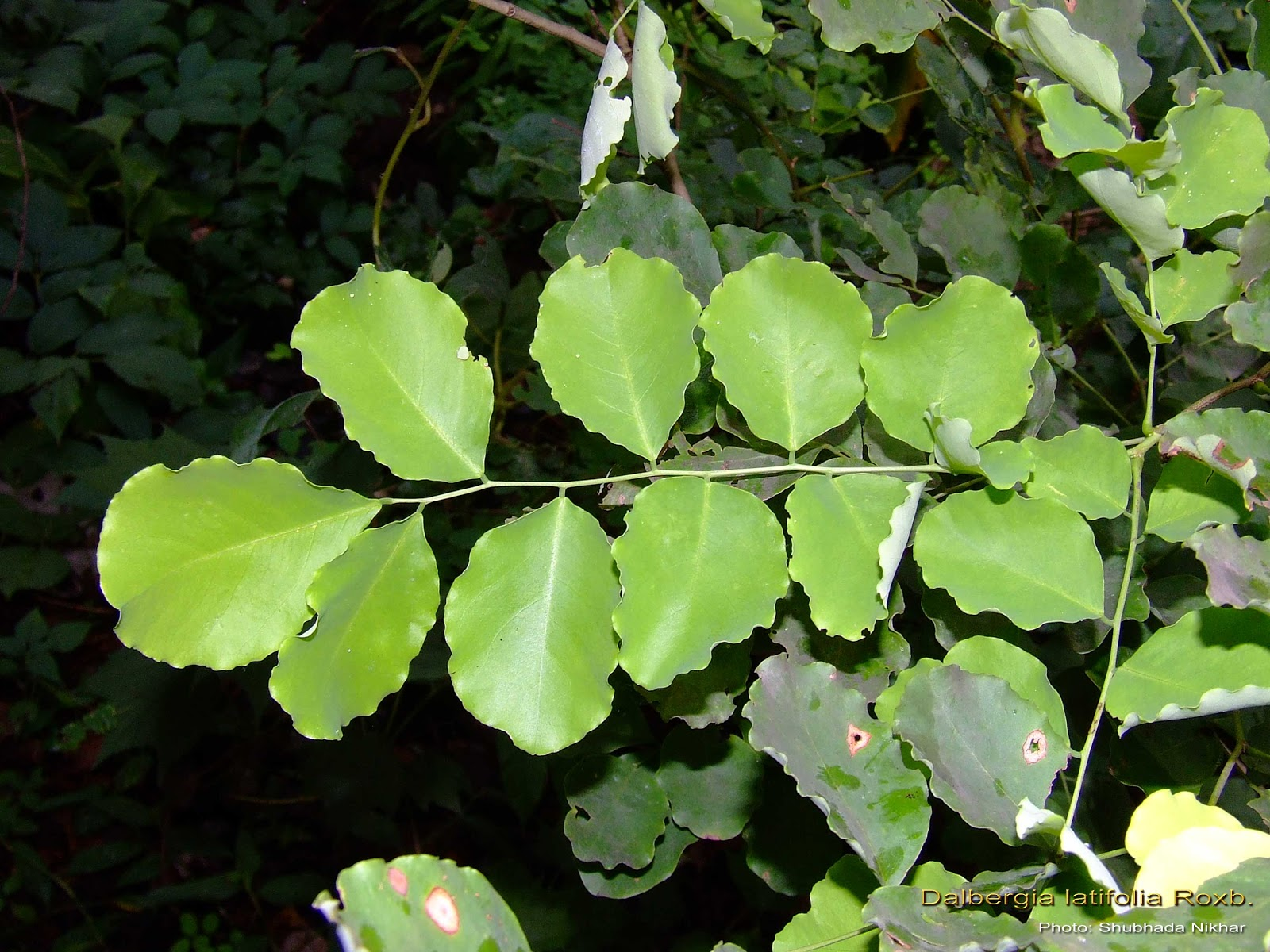 Medicinal Plants Dalbergia Latifolia Shinshapa Jitragi