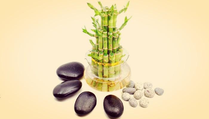 Bamboo planta