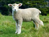 oveja cordero campo