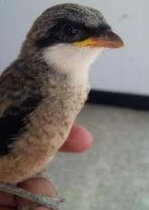 Ada berbagai jenis burung cendet di nusantara Ciri-Ciri Anakan/ Trotol Cendet Madura Kepala Hitam