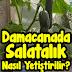 Damacanada Salatalık Nasıl Yetiştirilir?