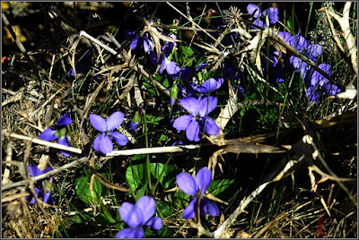 Violetas en Griegos