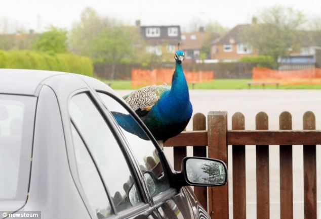 Crazed Peacock Attacks Teachers Cars After Feisty Trio
