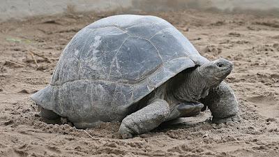 Kura-Kura Raksasa Aldabra Si Kura-Kura Terbesar Di Dunia