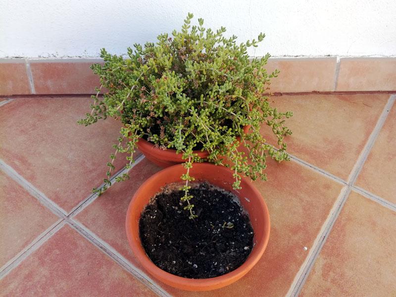 Foto della pianta delosperma