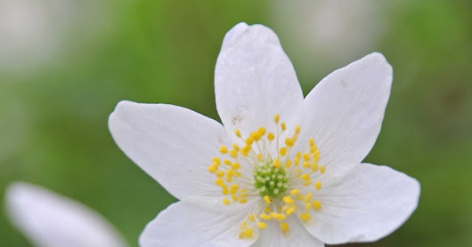 Edge Hill Wood: Wood Anemones