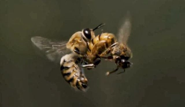 SISTEMA REPRODUCTOR DE LA ABEJA - BEE REPRODUCTIVE SYSTEM.