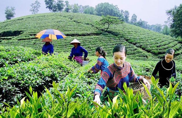 Tea harvest season in Yen Bai 5