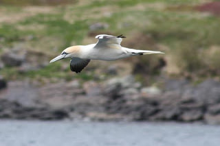 Northern Gannet coasts along the coast.