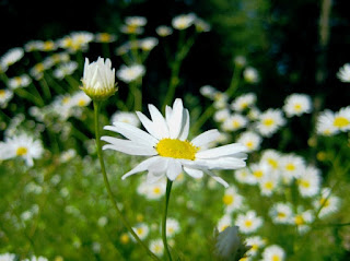 Chamomile Flower Steam a Natural Way to Relieve Congestion