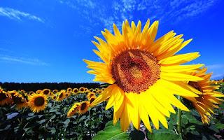 Gambar Bunga Matahari Paling Indah 20008_Sunflower