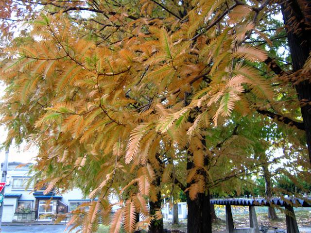 メタセコイアの紅葉しかけた葉