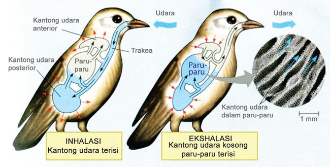 Pernapasan pada Burung
