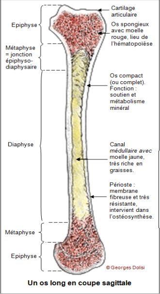 Notion de la moelle osseuse en immunologie
