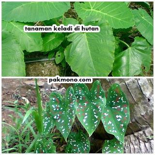 contoh tanaman higrofit