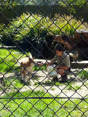 Dingo Dog at Symbio Wildlife Park Sydney