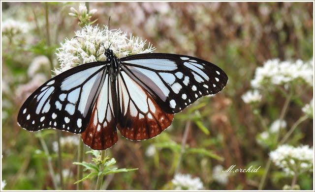 Chestnut Tiger Butterfly by Miyako