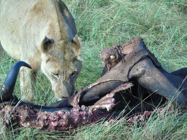 lioness eating a kill masai mara kenya africa safari